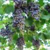 COAG propone la puesta en marcha de un contrato de compra-venta de uva de vinificación