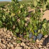 El sector vitivinícola recibirá 14,2 millones de euros para reestructuración y reconversión del viñedo