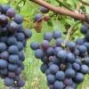 La guerra del precio de la uva