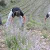 Abierto el plazo para la recolección de plantas aromáticas