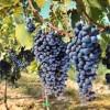 Agricultura autorizará 5.000 nuevas hectáreas de viñedo