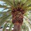 Las palmeras recibirán tratamiento contra el picudo rojo los días 20 y 21 de marzo