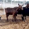 ACRIMUR y Genética Española exportan semen de cabra Murciano-Granadina a República Dominicana