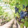 El proyecto nacional 'huella dactilar' ya cuenta con decenas de muestras de vinos D.O.P. Jumilla.
