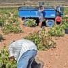 Se adelanta la vendimia en Jumilla a causa de la sequía