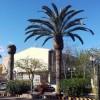 IU- Verdes denuncia el estado de algunas palmeras del Paseo Poeta Lorenzo Guardiola debido a la mala gestión del Ayuntamiento con la plaga del picudo rojo