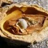 COAG Alerta ante el riesgo de la avispilla para el cultivo del almendro con un foco localizado en Jumilla y pide a la Administración regional y nacional que se tomen medidas