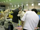 La Exposición Internacional Canina de Murcia se celebra este fin de semana en IFEPA con cerca de 3000 perros