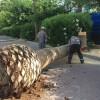 Comienzan los trabajos de reposición de las palmeras del Paseo Poeta Lorenzo Guardiola