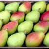 Cerca de un millón de kilos de peras de Jumilla se etiquetarán con el sello de Denominación de Origen Protegida este año
