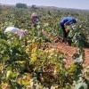 """Los agricultores se muestran indignados por el bajo precio de la uva """"así no se puede trabajar"""". Convocan a una reunión el próximo lunes"""