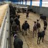 ACRIMUR realiza el tercer envío a Irán con 2020 cabras de la raza Murciano-Granadina