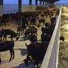 """López Miras: """"En 2019 bajaremos un 75 por ciento los impuestos al sector ganadero"""""""