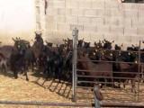 ACRIMUR realiza el primer envío de cabras Murciano-Granadina a Qatar
