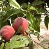 COAG denuncia que la fruta entra en plena campaña y no tiene aún fijado un precio
