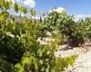 COAG anuncia que el tirón exportador, la sequía y el aumento del consumo dibujan un horizonte de precios al alza en uva de vinificación