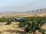 Más de 1800 viticultores inician la recolección del fruto de la vid en la D.O.P. Jumilla