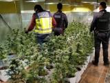 Operación Arcángel. La Policía requisa 400 plantas de marihuana en Jumilla