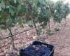 """Ayer se presentóen Jumilla los resultados del proyecto: """"Calidad y diferenciación como claves de la competitividad vitivinícola"""" del Grupo Operativo Regional (QVALITAS), en un acto en el que participará Antonio Luengo Zapata"""